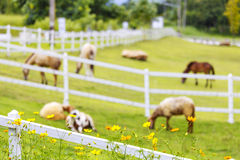 White sheep in sunny summer pasture and flower. White sheep farm in sunny summer pasture and flower royalty free stock photos