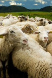 White sheep with tags. In fold Royalty Free Stock Photos