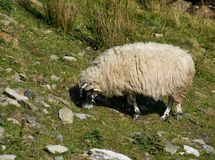 Sheep with a thick coat eats grass in the mountains. A white sheep with thick fur and black head in the mountains while eating photographed from the side stock photos