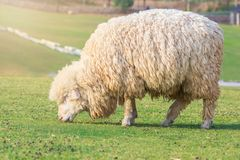 White sheep with thick fur farm pastures. Stock Image