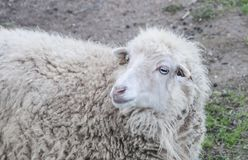 White sheep whit blue eyes. The sheep belongs to the mammalian class and is a bovine ruminant. It is an animal of great economic importance because it takes Stock Images