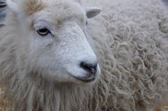 White sheep with a winter coat Stock Photos
