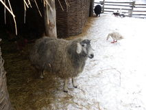 White sheep in winter Royalty Free Stock Photos