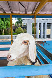 White sheep in wooden fold Royalty Free Stock Images