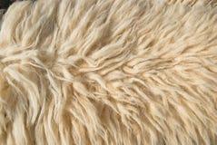 White Sheep wool. Hairy white sheep wool texture Stock Photo