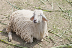 White sheep wool lying on farm field Royalty Free Stock Photo