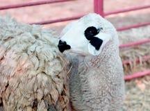 white sheep Stock Photography