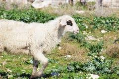 White sheep Royalty Free Stock Image