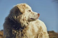 White sheepdog portrait Royalty Free Stock Photography