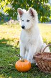 White sheepdog and pumpkin Royalty Free Stock Images