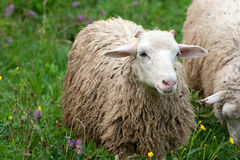 White sheeps ewes Stock Photography