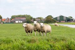 3 white sheeps in a grass pasture stock image
