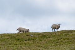 White Sheeps on Hill in Wales stock photos