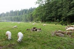 White sheeps on meadow, lamb royalty free stock photo