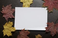 A white sheet of photographic paper on a dark background among the withered autumn leaves of yellow, red and green. A white sheet of photographic paper on a Royalty Free Stock Photography