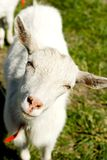 White shegoat. Looking straight into a camera Royalty Free Stock Photography