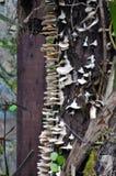 White shelf fungi Royalty Free Stock Photos