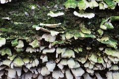 White shelf mushrooms on an old moss covered log. Horizontal aspect Royalty Free Stock Photos
