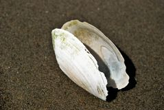 White shell Stock Photography