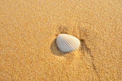 White shell on brown sand. White shell on fine brown sand texture close up Stock Photography