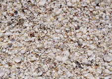White shell clams and snails on the beach Stock Photos