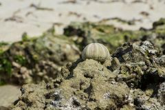 White shell of a sea urchin on sea shore. White shell on seashore and green water plant seaweed in the ocean sea sand beach. Cockle small, edible, marine bivalve Stock Photo