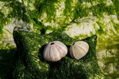 White shell of a sea urchin on sea shore. White shell on seashore and green water plant seaweed in the ocean sea sand beach. Cockle small, edible, marine bivalve Stock Photos
