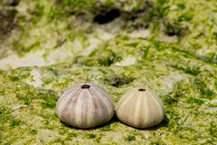 White shell of a sea urchin on sea shore. White shell on seashore and green water plant seaweed in the ocean sea sand beach. Cockle small, edible, marine bivalve Stock Image