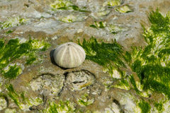 White shell on seaweed covered stone Stock Photo