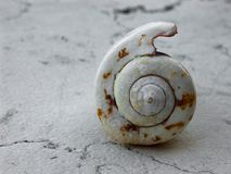 Cyclope neritea shell, isolated on antique white marble of a sea house royalty free stock photography
