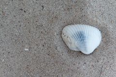 White shells on the beach.  Royalty Free Stock Photography
