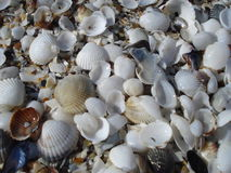 White shells on the beach Royalty Free Stock Photos