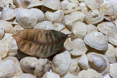 White shells with one dry brown and green leaf Stock Image
