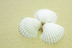 White shells on a sandy beach. White sea shells on a sandy beach Royalty Free Stock Photos