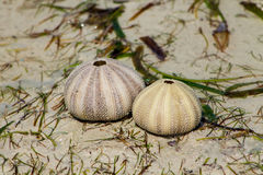 White shells on seaweed covered sand Royalty Free Stock Image