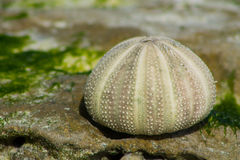White shells on seaweed covered stone Royalty Free Stock Photo
