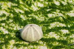 White shells on seaweed covered stone Royalty Free Stock Images
