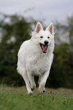 White shepherd Stock Photography
