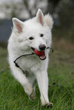 White shepherd Royalty Free Stock Image
