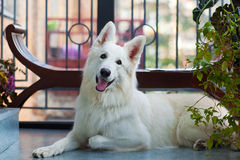 White shepherd Royalty Free Stock Photography