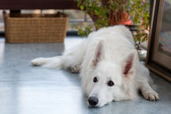 White shepherd Royalty Free Stock Images
