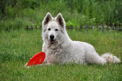 White Shepherd Stock Photography