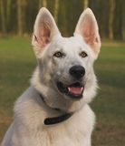 White Shepherd Royalty Free Stock Photos