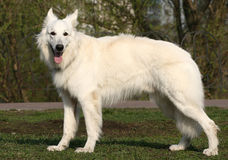 White shepherd. Standing in stance Stock Image
