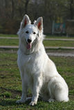 White shepherd. On green grass Royalty Free Stock Image