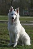 White shepherd Royalty Free Stock Image