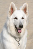 White Shepherd. Closeup portrait of White Shepherd dog Stock Photos