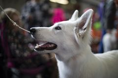 White shepherd breed on a leash. royalty free stock images