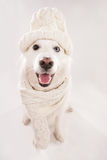White shepherd with cap and scarf stock images