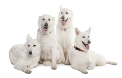 White Shepherd Dog (1 year old) Stock Photo